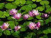 water-lilies5