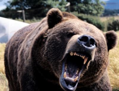 Angry growling bear