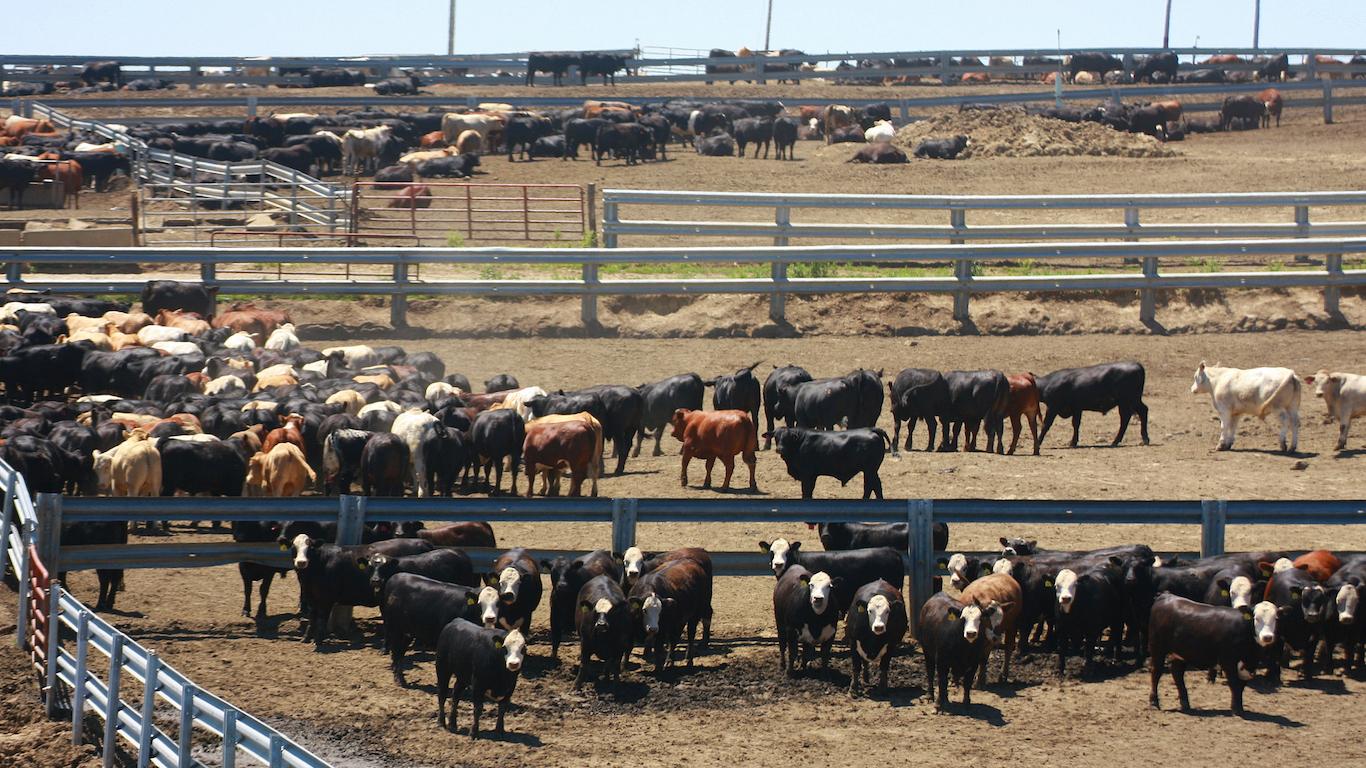 Cattle in a Nebraska Feedlot in Summer, Beef