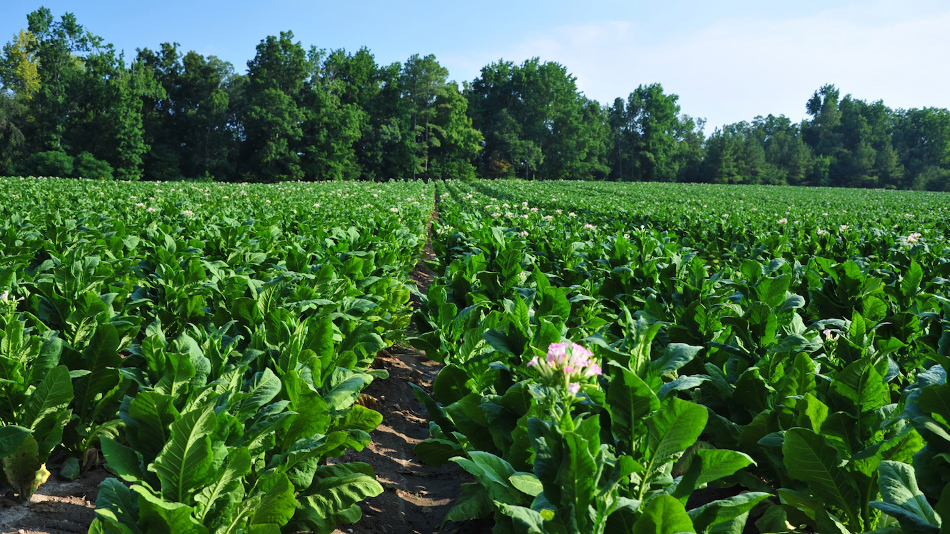 Tobacco field in Virginia