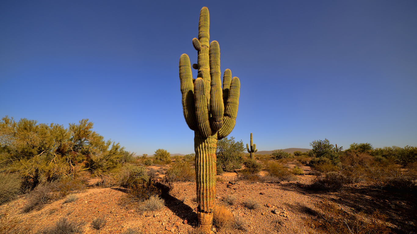Yuma Arizona, USA - December 26, 2015: Giant Saguaro Cactus in the Kofa National Wildlife Refuge. Yuma Arizona USA.