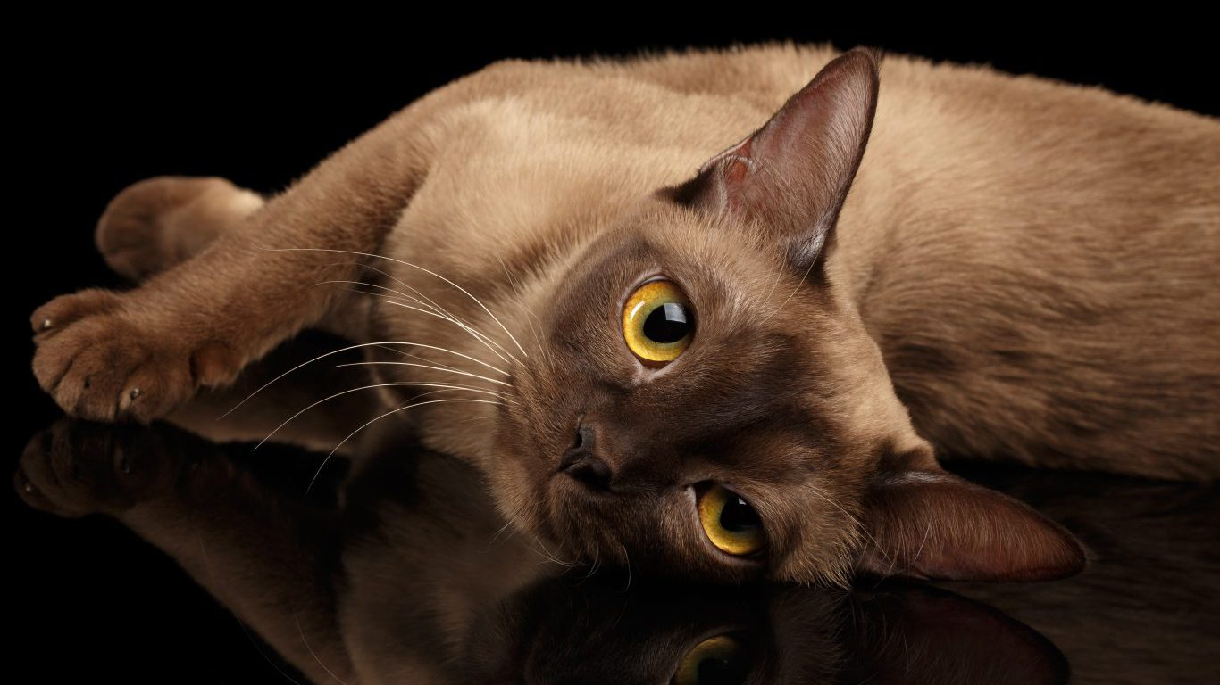 Shortest And Longest Living Cat Breeds Page 5 24 7 Wall St