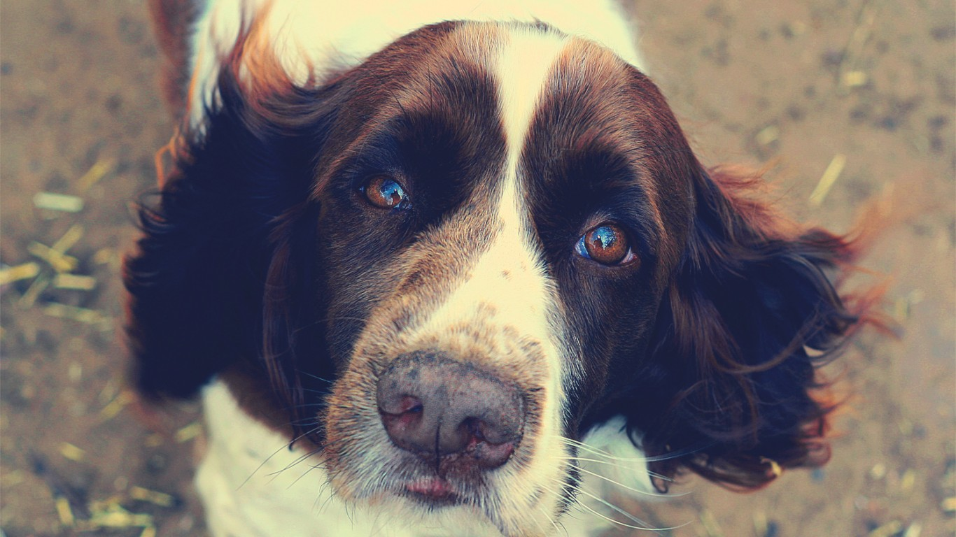 English Springer Spaniel by Jonathan Silverberg