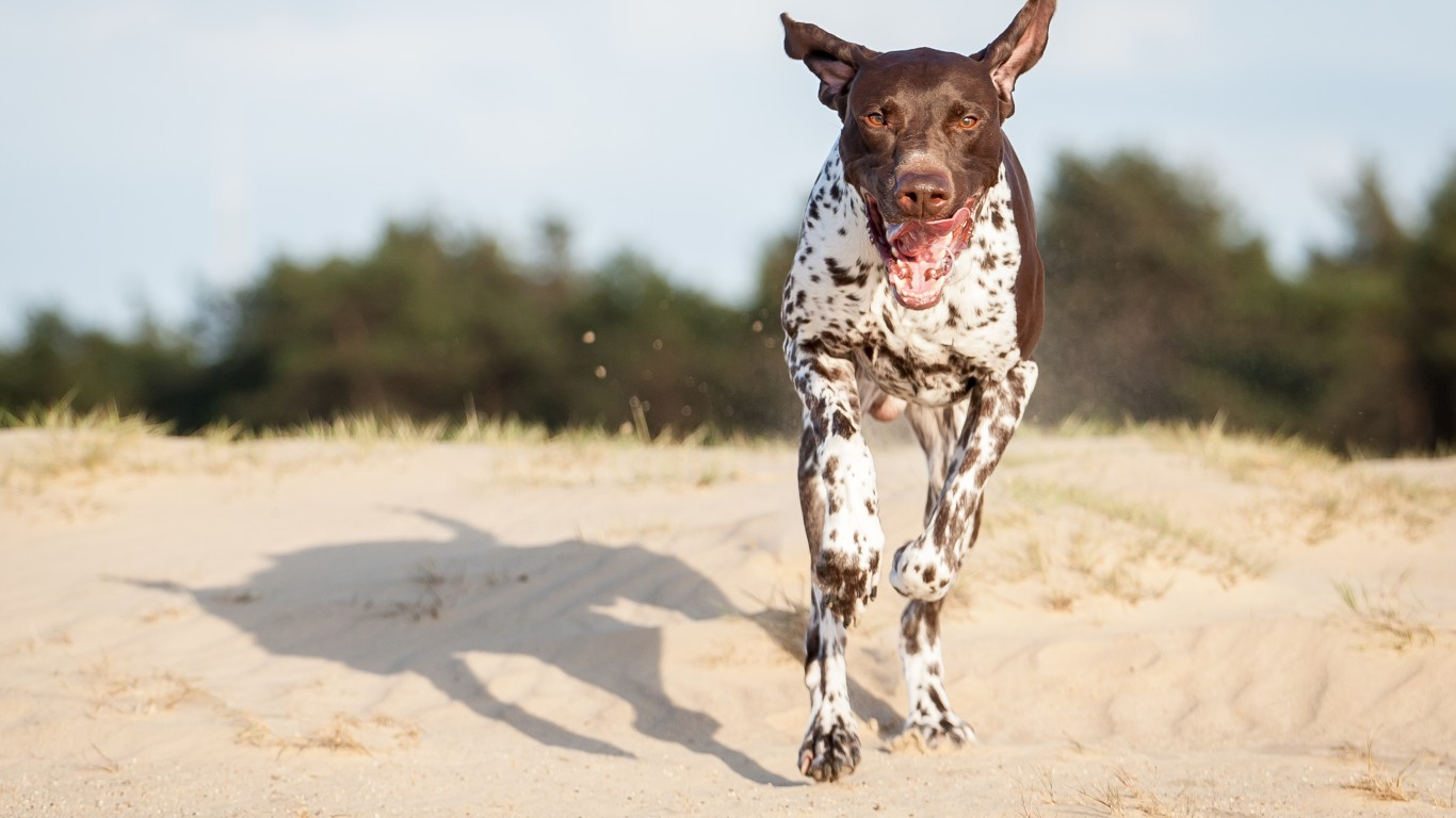 German Shorthaired Pointer by Harold Meerveld