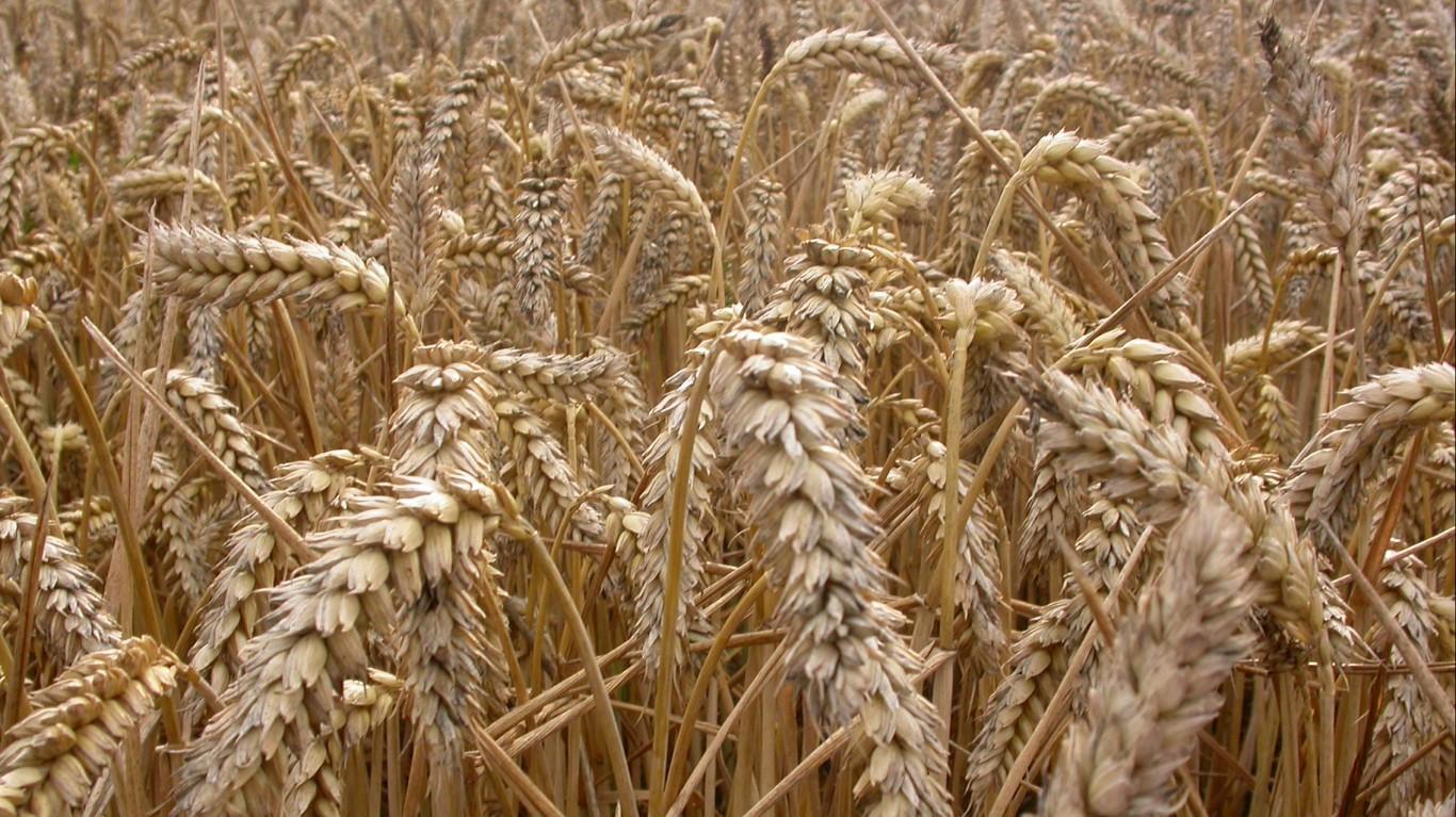 Wheat by Nick Saltmarsh